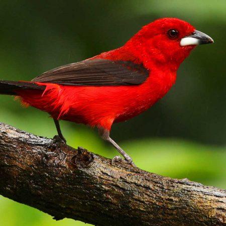aves-de-santos-tie-sangue-revista-nove